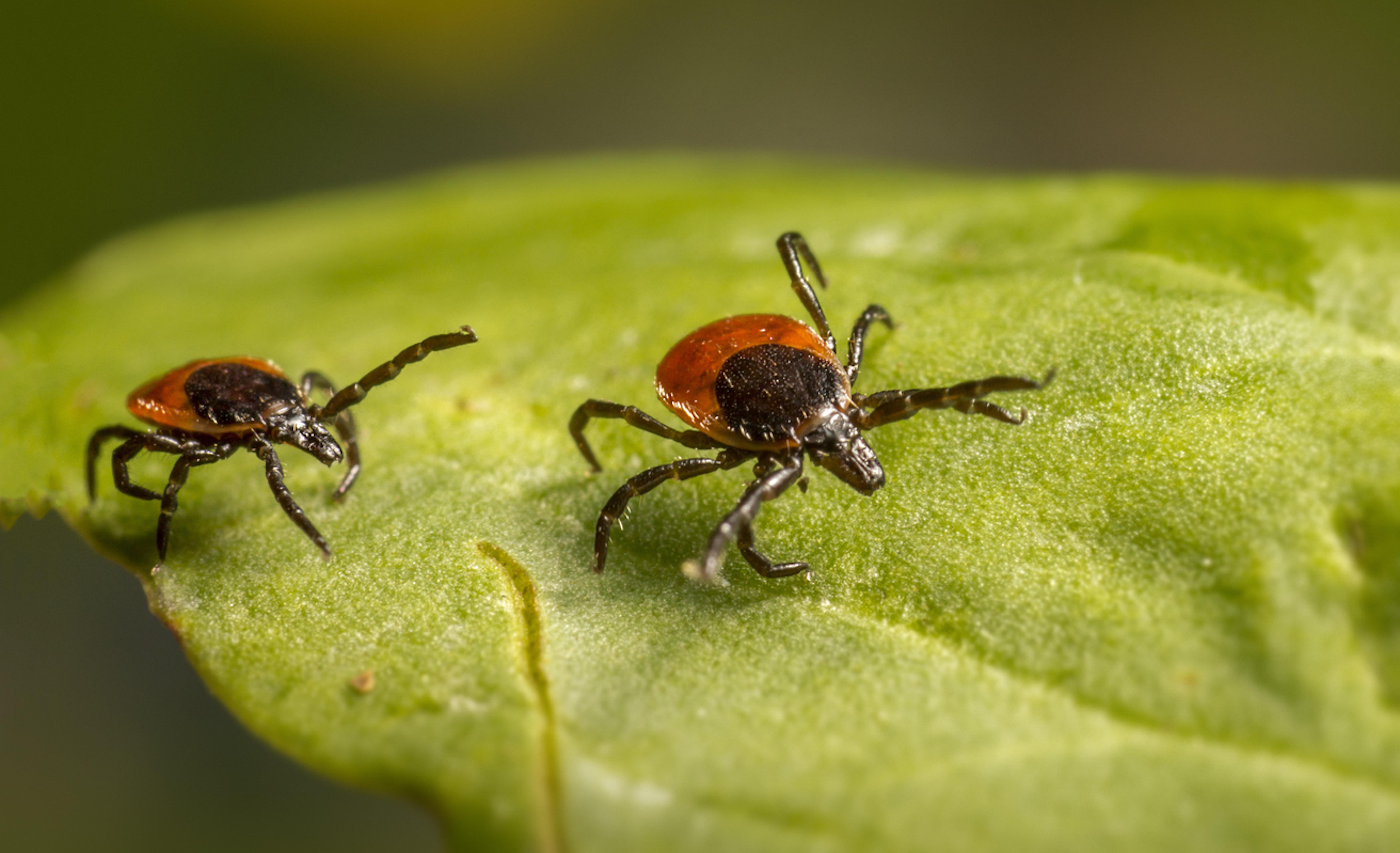Maladie de Lyme : 80% des malades sous antibiotiques pour rien