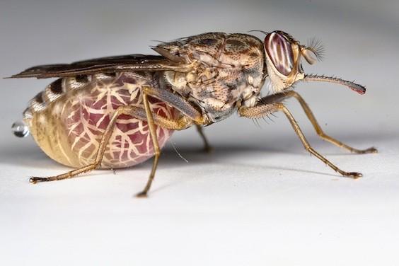 Maladie du sommeil : le parasite peut rester caché dans la peau