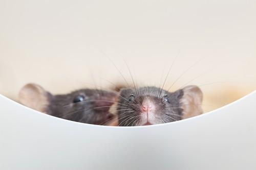 Alzheimer :  l'immunothérapie par interleukine-2 pourrait restaurer la mémoire