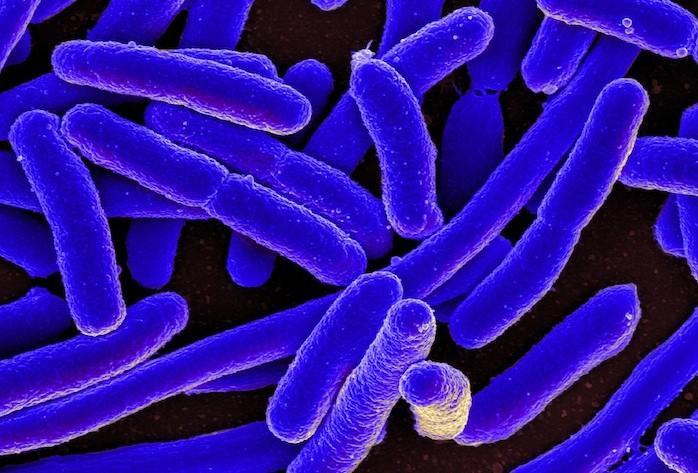 La composition du microbiote influence la réponse à l'ipilimumab