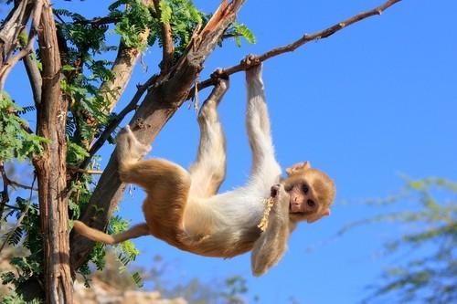 VIH : des chercheurs ont obtenu une rémission durable chez le singe