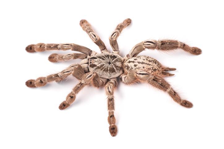 Epilepsie infantile : le venin d'araignée pourrait soigner le syndrome de Dravet