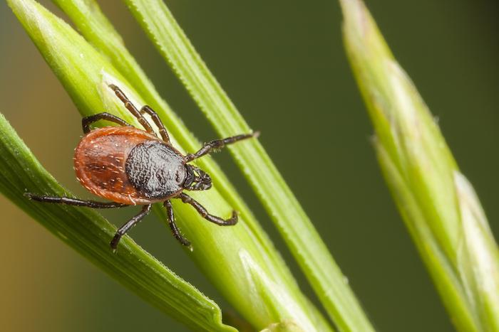 Maladie de Lyme : toutes les tiques ne sont pas infectantes
