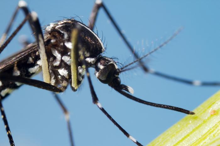 Moustiques tigres : 62 départements concernés et 42 en vigilance rouge