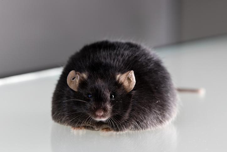HTAP : lien avec l'obésité et le métabolisme oestrogénique dans le modèle murin