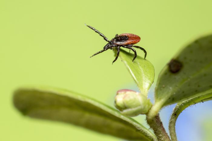 Maladie de Lyme : premier test sanguin universel pour les maladies transmises par les tiques