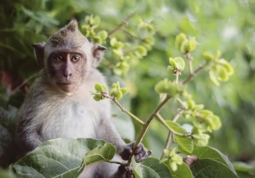 Sida : des anticorps protecteurs pendant 6 mois chez le singe