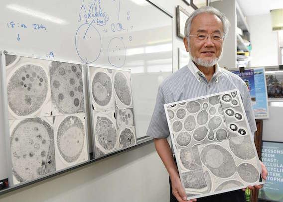 Nobel de médecine : l'autophagie est primée