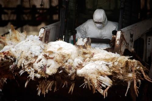 Grippe aviaire : des milliers de volailles infectées par le H7N9 à Hong Kong