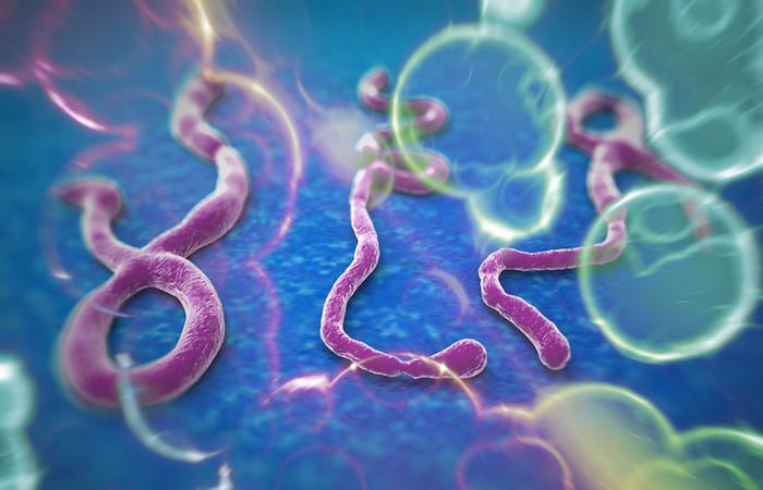 Ebola : de nouveaux anticorps  contre plusieurs virus