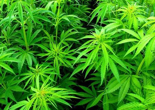 Cannabis à l'école : les tests salivaires inutiles sans parcours de soin