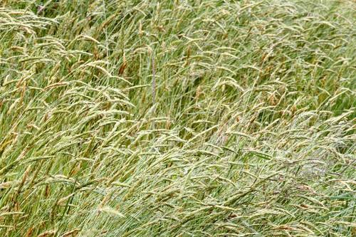 Allergies aux graminées : dure semaine sur l'ensemble du territoire